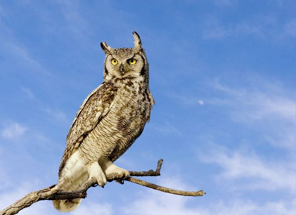 Cute Barn Tyto Owl Wallpaper Great Horned Owl In Blue Sky Background Owl Facts And