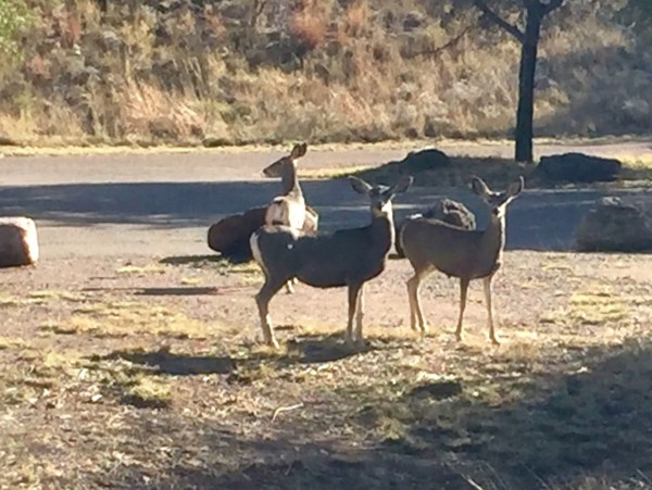Mule deer in the park. There's always that one...