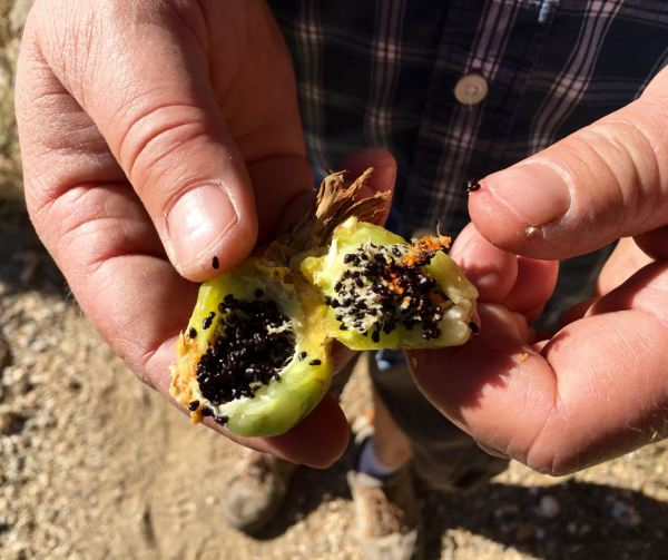 It might not look like much, but this little cactus fruit could save you from dehydrating and starving in the desert. The flesh contains sugars and water, and the seeds are high in protein. Tastes kind of like a cross between a lemon and a pepperoncini.