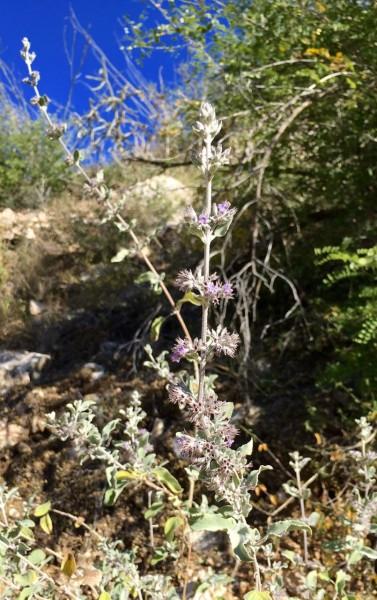 Desert lavender