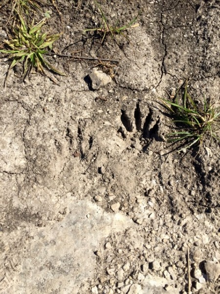 We saw tracks. Raccoon