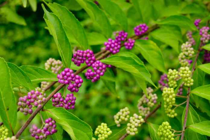 Plants that Repel Ticks: Top 10 Picks and Tricks! 2019: Own The Yard 1
