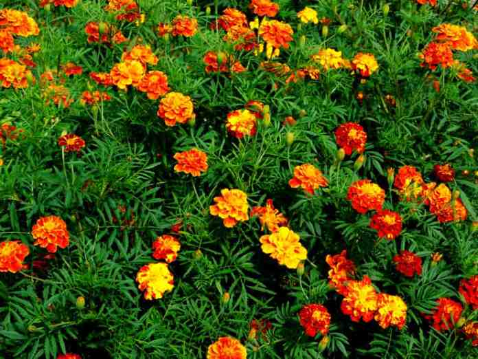 Plants that Repel Ticks: Top 10 Picks and Tricks! 2019: Own The Yard 8