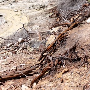 Neuseeland, Wai-O-Tapu: Holz, welches hier hinfällt verkohlt durch-die Hitze unter der Oberfläche