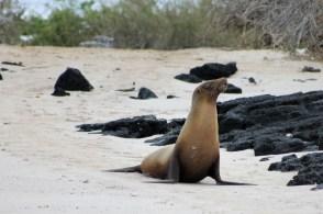 Galápagos, Isla Floreana, Post Office Bay: Die obligatorische Seelöwen-Begrüßung