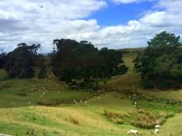 Neulich in Neuseeland: Irgendwo hier ist Hobbiton, wo die Hobbit wohnen