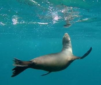 Galápagos, Rábida: Ein verspielter Seelöwe begleitete uns auf unserer Schnorcheltour