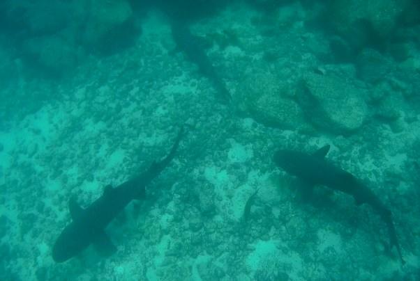 Galápagos, Santa Fe: Ein Rudel Weißspitzen-Riffhai ruht sich aus für die nächtliche Jagd
