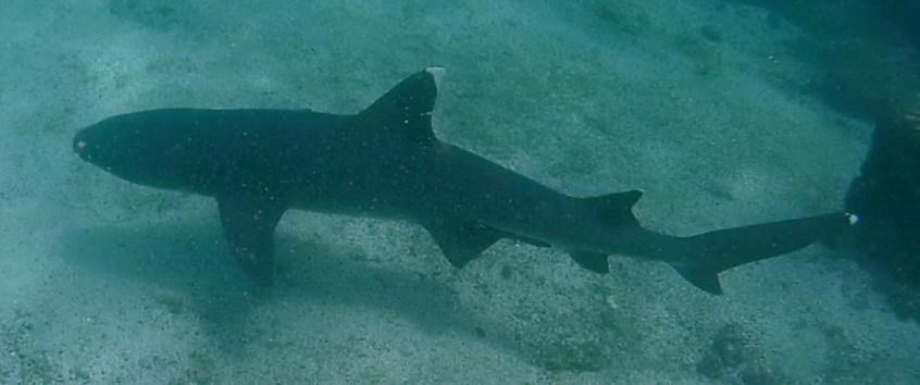 Galápagos, Santa Fe: Neugierig schaut dieser Weißspitzen-Riffhai bei uns vorbei