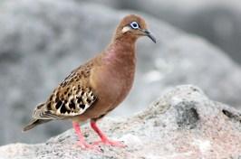 Galapagos, La Pinta, North Seymour: Galapagos Dove, Galapagostaube (Zenaida galapagoensis)