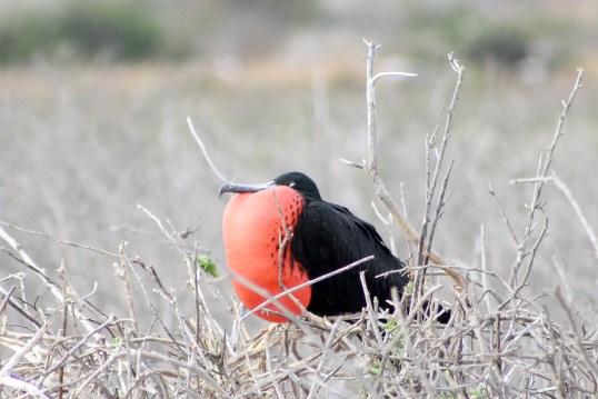 Galapagos, La Pinta, North Seymour: Prachtfregattvogel Männchen mit geblähtem Kehlsack (Fregata magnificens)