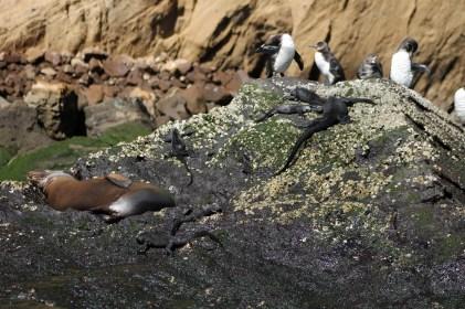 Galápagos, La Pinta, Santa Isabela, Punta Vincente Roca: 3 der Galápagos Big 15 auf einer Klippe: Galápagos Pinguin, Marine Iguana und der Seelöwe