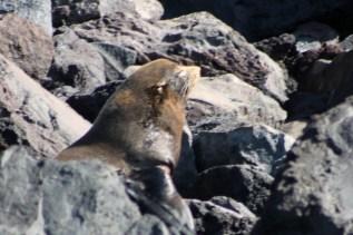 Galápagos, La Pinta, Santa Isabela, Punta Vincente Roca: Seebär beim Sonnenbad