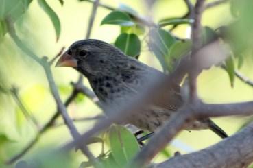 Galápagos, Urbina Bay: Eine von 16 Arten Darwin Finken: ein Medium Ground Finck
