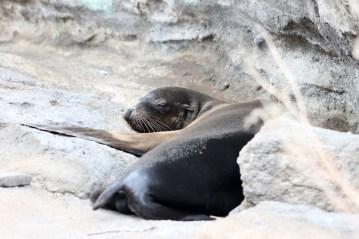 Galápagos, Urbina Bay: Auch hier sind die Seelöwen allgegenwärtig