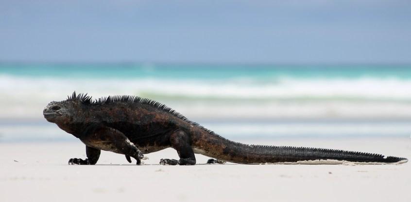 Galápagos, Santa Cruz, Tortuga Bay: Wie eine Macho stolziert das Marine Iguana Männchen über den weißen Sandstrand