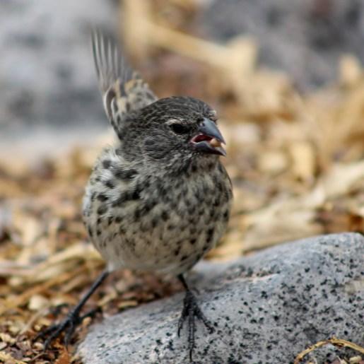 Galápagos, Santa Fe: Ein medium Ground-Finch bei der erfolgreichen Futtersuche