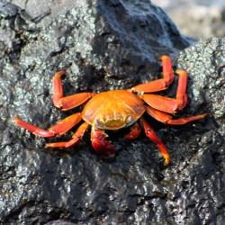 Galápagos, SouthPlaza: Die roten Klippenkrabben findet man auf allen Inseln des Archipels. Hier ein besonders schönes Exemplar.