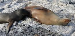 Galápagos, SouthPlaza: Junge Seelöwe bekommen noch sehr lange Milch von der Mutter