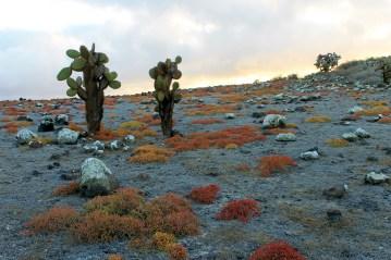 Galápagos, SouthPlaza: Die typische Landschaft mit Baumkakteen und Sesuvium, welche in der Trockenzeit rot leuchtet, fast wie Erika im Herbst bei uns.