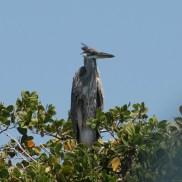 Galápagos, Santa Isabela, Los Tintoreros: : Schaut aus wie ein Reiher! Kennt jemand den genauen Namen?