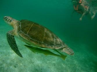 Mexiko, Tulum, Akumal: Schnorcheln mit den Schildkröten - ein unvergleichliches Erlebnis