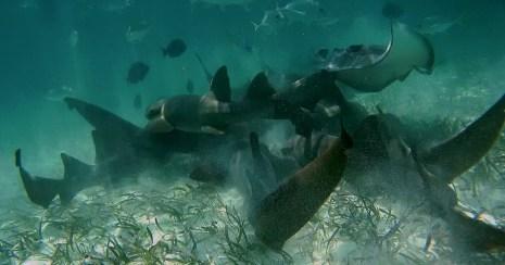 Belize Barrier Reef, Shark & Ray Alley: Ammenhaie und Stachelrochen im Kampf um das Futter
