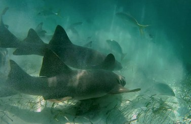 Belize Barrier Reef, Shark & Ray Alley: Wenn es um die wirklich wichtigen Dinge im Leben geht, kann´s schon mal etwas wilder werden