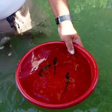 Belize, Caye Caulker: Seepferdchen - nur schauen, nicht anfassen