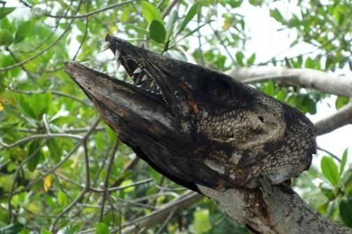 Belize, Caye Caulker: Dieser Tarpon-Räuber hat seine Fresslust nicht überlebt