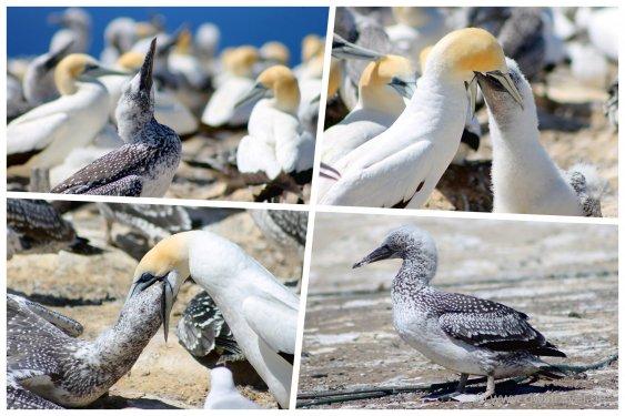 Cape Kidnapper: Jungvogel Impressionen
