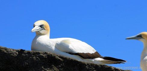 Cape Kidnapper, Black-Reef: Verdientes Mittagsschläfchen nach der anstrengenden Futtersuche und Fütterung
