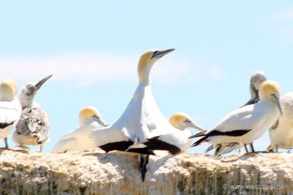 Cape Kidnapper, Black Reef: Gannet auf Brautschau. Mit dieser Pose zeigt er dem Weibchen seine Vorzüge - genau wie die Halbstarken im Autoscooter auf der Kirmes.