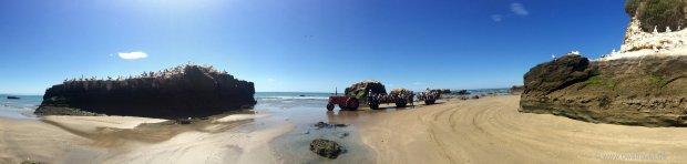 Die Tölpel-Kolonie vom Black Reef ist die größte der vier Kolonien von Cape Kidnapper
