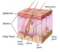 The 3 layers of the human skin