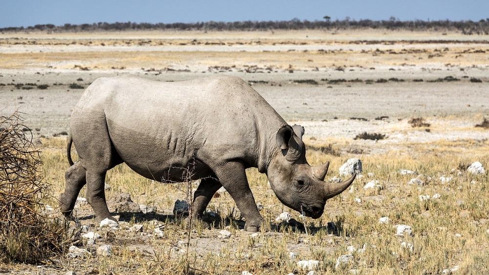 Rhino poaching is on the increase
