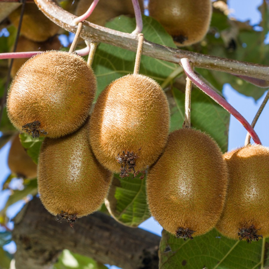 How To Grow Kiwi Fruits In Kenya