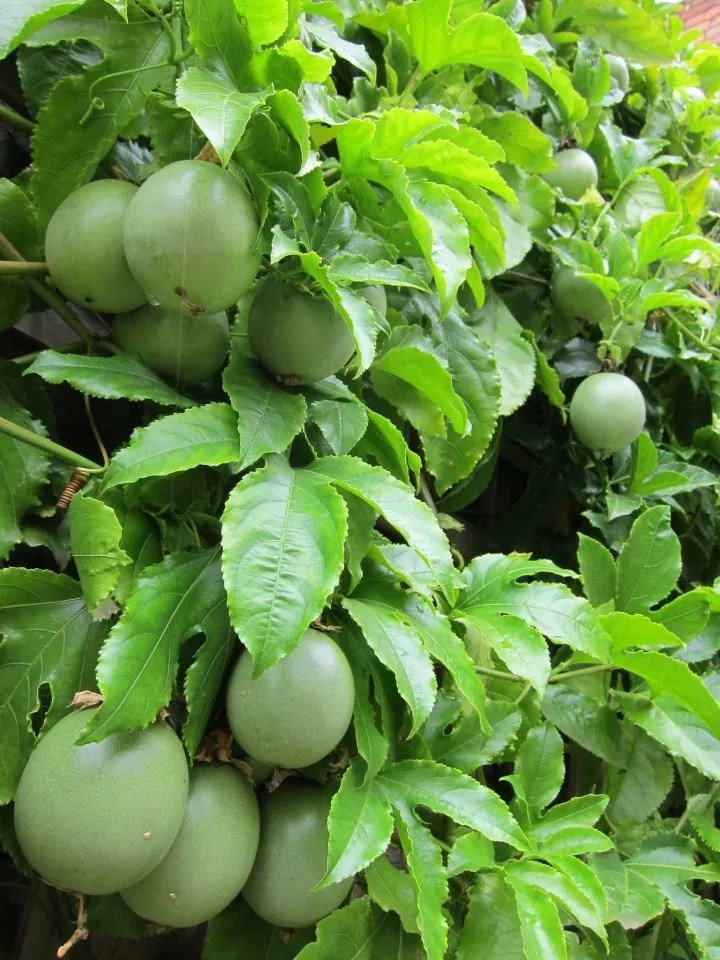 "PASSION FRUIT"" FARMING GUIDE - Oxfarm Organic Ltd"