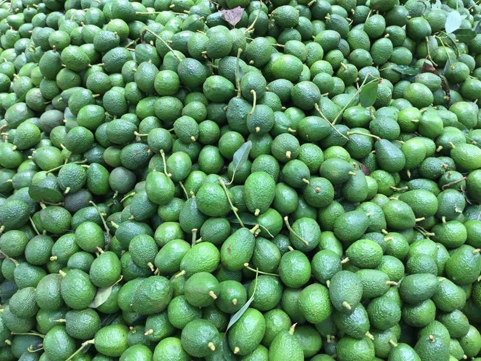 hass avocado in Kakuzi Limited