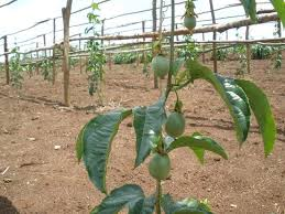 Passion-fruit farming