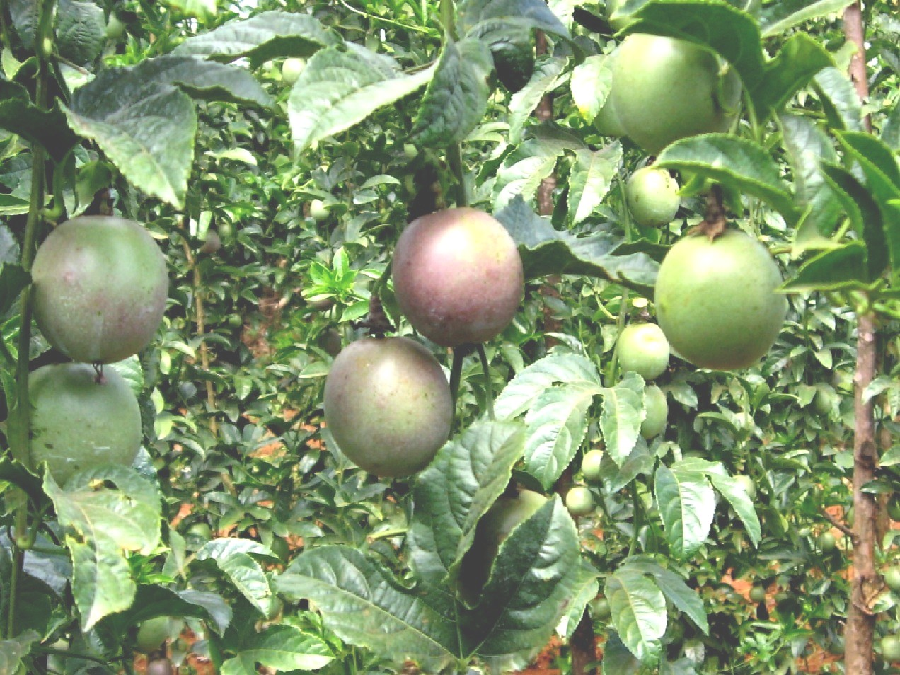 passion Fruit farming