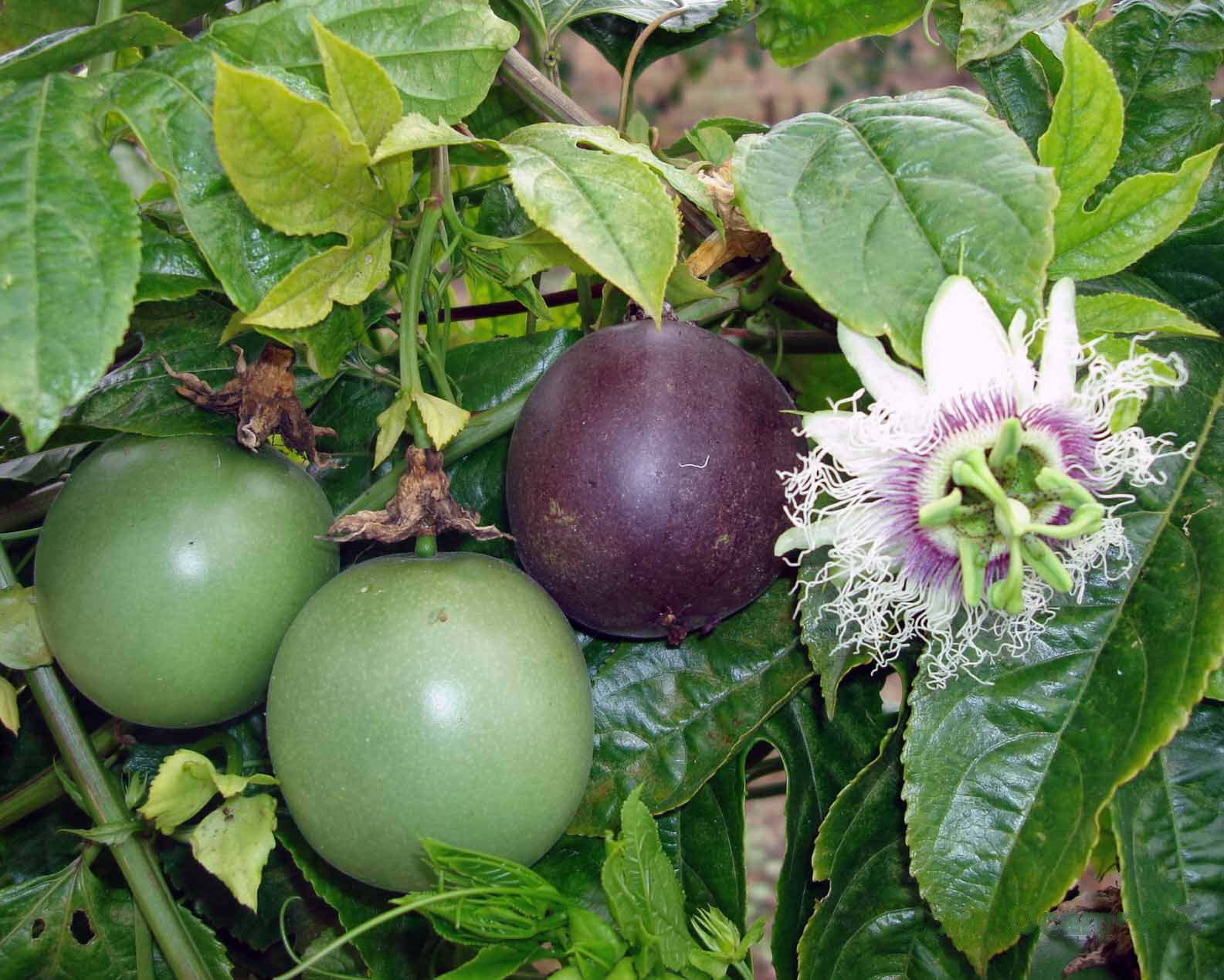 Financial potential of grafted passion fruit farming in Kenya