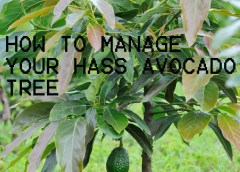 You Only Have One Month To Prepare; Hass Avocado Farming Package