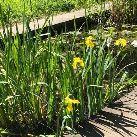 Flag Irises in Chelsea Physic Garden