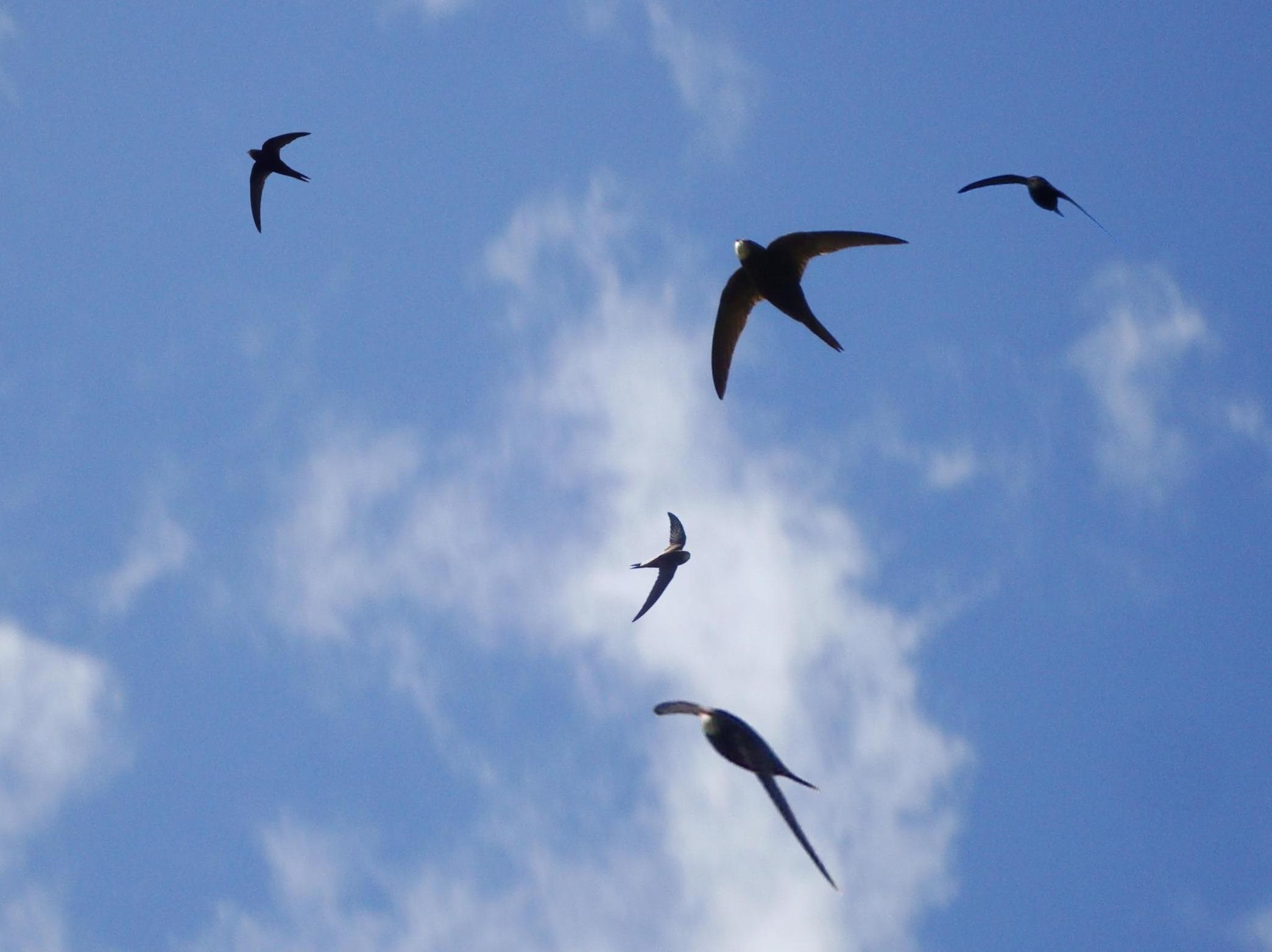 Image result for swifts