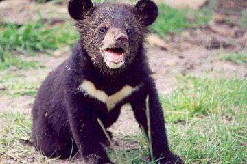 bears raised as puppies