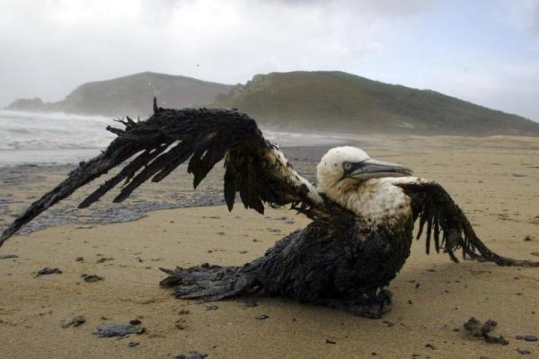seabird-oil