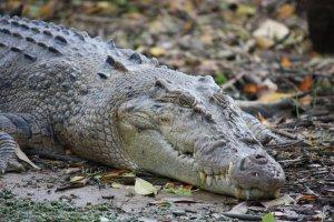 Saltwater (estuarine) crocodile image courtesy of Jan Smith via Flickr