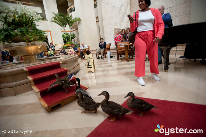 Canard March dans le hall du Peabody Orlando