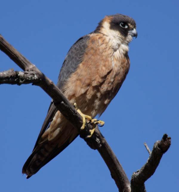 Australian Hobby (Falco longipennis) Samsonvale Cemetery, SE ...